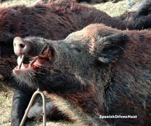 Spanish driven hunt - monteria