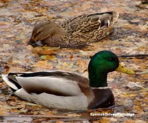 spanishdrivenpartridge - duck hunting in spain