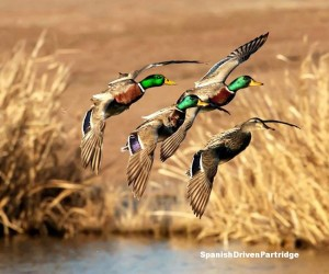 spanishdrivenpartridge - duck hunting in spain