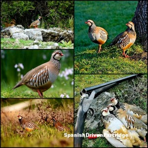 Spanishdrivenpartridge - red-legged partridge shooting in Spain