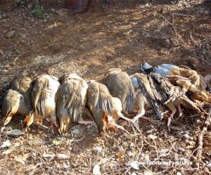 Spanishdrivenpartridge - Red-legged partridge driven shooting in Spain