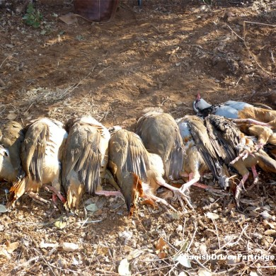 Spanishdrivenpartridge - Red-legged partridge driven shooting in Spain