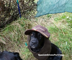 spanish driven partridge retriever